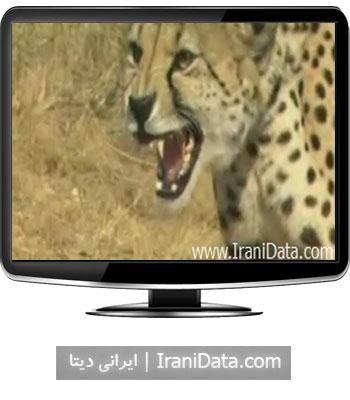 دانلود کلیپ جالب و جذاب شکار چیتا توسط شیر