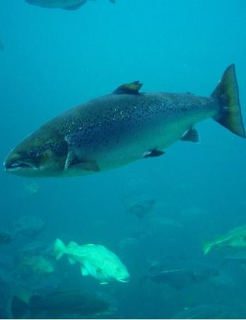 دانلود مستند اسرار ماهی سالمون